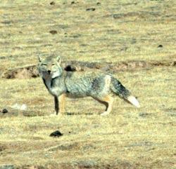 组图:珠峰复测风情篇――藏北:与狐狸的邂逅