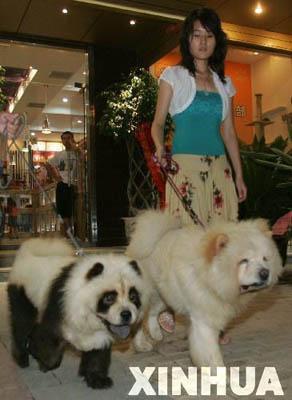松狮犬变大熊猫 揭秘熊猫犬怎样炼成的(图)