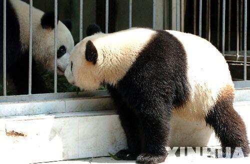动物的爱情乐章:大熊猫隔杆情意绵绵(组图)