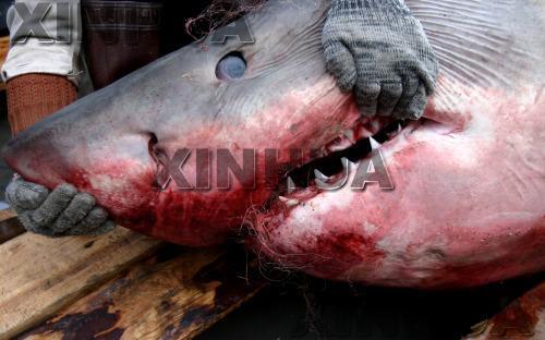 江苏渔民捕获撞入蟹网的750公斤大鲨鱼(图)