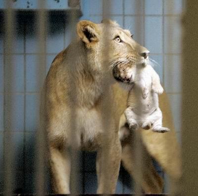 动物园,一岁半的狮妈妈用嘴叼着刚出生的小宝宝和
