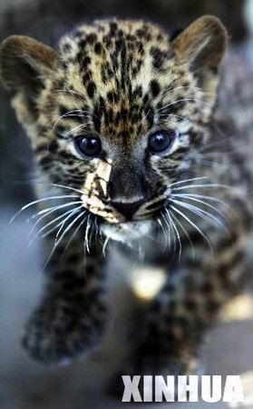 11月17日,郑州市动物园一只刚刚满月的小豹仔好奇地看着镜头.