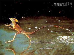 科技时代_美科学家揭开蜥蜴克服重力水上飞之谜(组图)