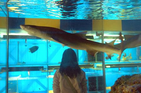 科技时代_鲨鱼成热门宠物 设备投资成本需上万元(图)