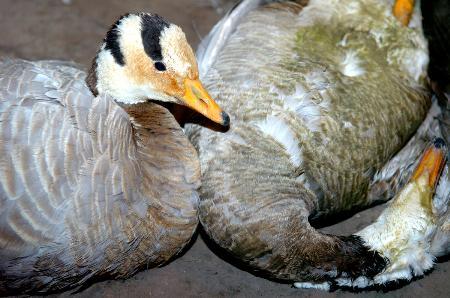 科技时代_178只斑头雁死于禽流感 青海湖鸟岛暂关闭