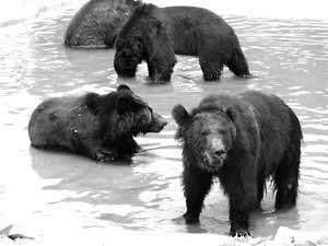科技时代_俩棕熊患病疯狂掉毛 众伙伴被集体药浴(图)