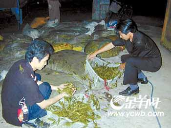科技时代_湛江蝗虫加工出口 村民捉虫每天增收200多元