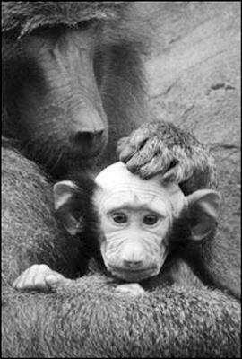 科技时代_英国动物园一只小狒狒被妈妈舔成秃头(图)