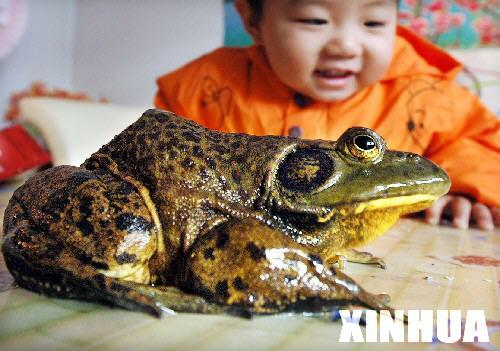 宁夏一灌溉渠挖出正在冬眠的巨型青蛙(组图)_
