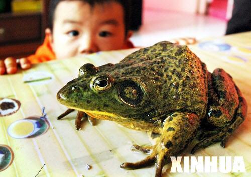 宁夏一灌溉渠挖出正在冬眠的巨型青蛙(组图)--