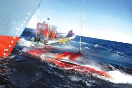 科技时代_日本计划三个月内捕杀935头鲸 17国联名抗议