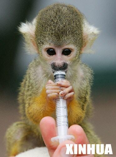 科技时代_悉尼一动物园孤儿小松鼠猴洛基不再孤单(图)