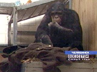 科技时代_俄罗斯动物园黑猩猩穿上军大衣抵御严寒(图)