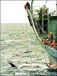 科技时代_日计划推高级鱼叉大肆捕鲸 引起公愤不罢休