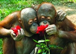 科技时代_猩猩也过情人节(图)