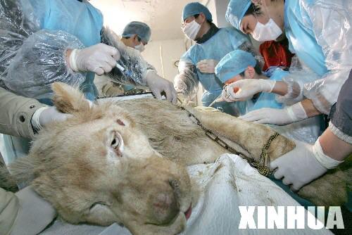 科技时代_杭州野生动物世界白狮动手术切除肿瘤(组图)