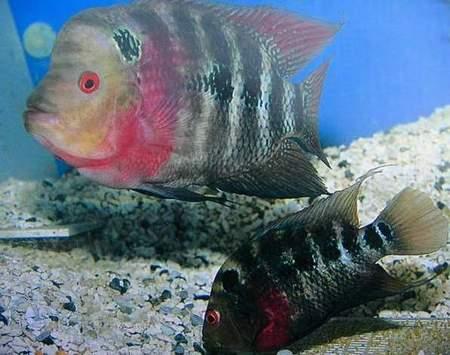 科技时代_鱼类雌雄交配趣谈 罗汉鱼繁殖图解(组图)