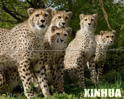 科技时代_美国华盛顿史密森动物园小猎豹一周岁(组图)