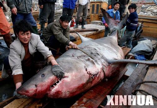 科技时代_江苏渔民捕获撞入蟹网的750公斤大鲨鱼(图)