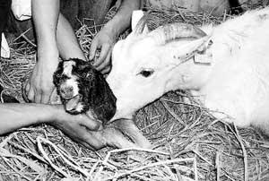 科技时代_安徽首只克隆羊诞生8小时后死亡(图)
