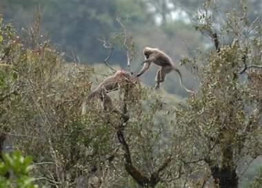 科技时代_坦桑尼亚发现新猴种 生命史可能要改写(图)