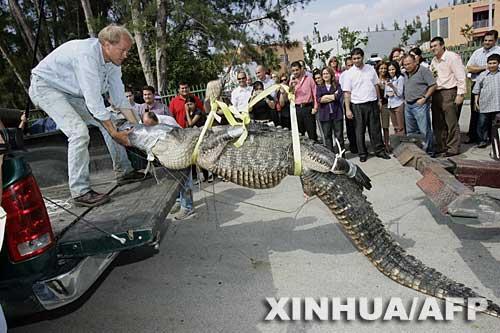 科技时代_美国佛罗里达捕鳄鱼防止攻击人畜事件(组图)