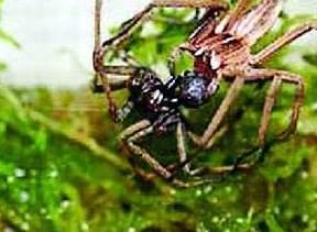 科技时代_研究发现母蜘蛛也叫床 指示雄性下一步动作