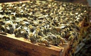 科技时代_英国研究发现蜜蜂能借助花朵提升体温(图)