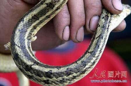 科技时代_组图:山东临沂发现两脚蛇