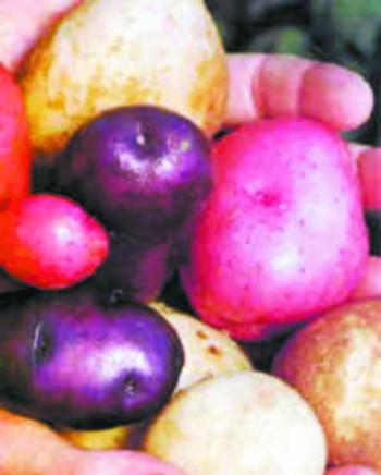 科技时代_日本彩色土豆既养眼又健康(图)