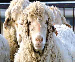 科技时代_首只含人类细胞的杂种绵羊诞生