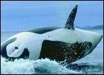 特别策划:日本捕鲸是为了保护生态平衡?