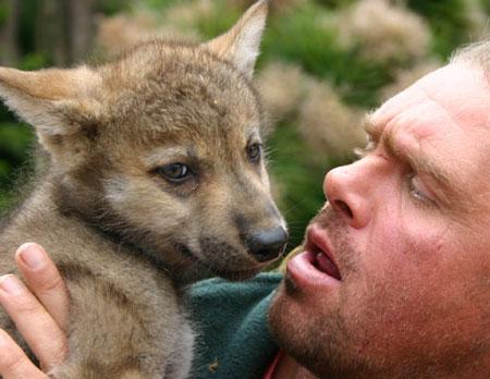 走近美国狼人:假扮成狼在狼群中生活