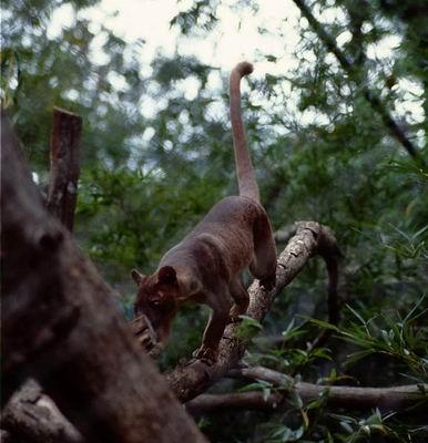 马达加斯加岛的神秘动物fossa跟踪记(组图)
