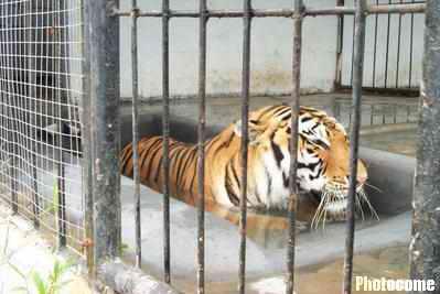 动物避暑:老虎在冰块上休息