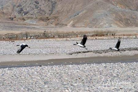 珠峰复测风情篇:藏北巧遇黑颈鹤(图)