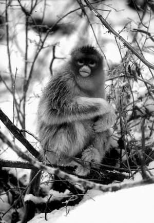 黔金丝猴首次揭开面纱雄猴竞争上岗(组图)