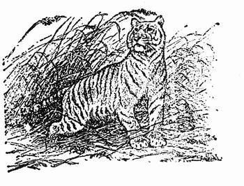 新疆虎灭绝之谜小小蚂蚁杀死了万兽之王?