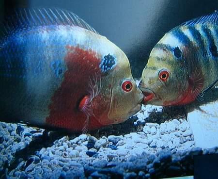 鱼类雌雄交配趣谈罗汉鱼繁殖图解(组图)