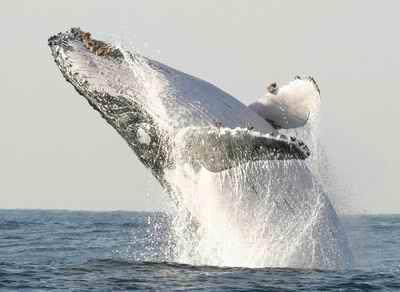 科学家发现鲸鱼语言技巧有类似人类的语法