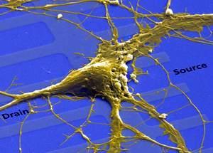 欧洲造出神经芯片脑细胞和硅电路可连一起