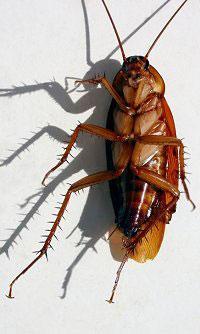 研究发现蟑螂讲民主集体协商重大决定(图)