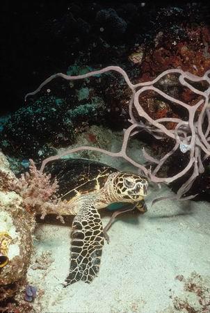 海洋里生存着8种海龟(组图)