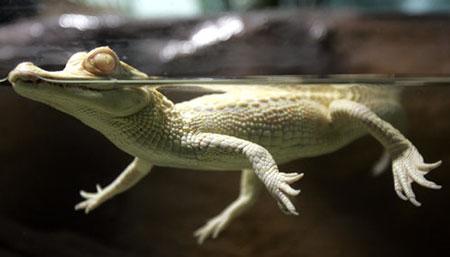 组图:稀有白化小鳄鱼亮相南美洲最大水族馆