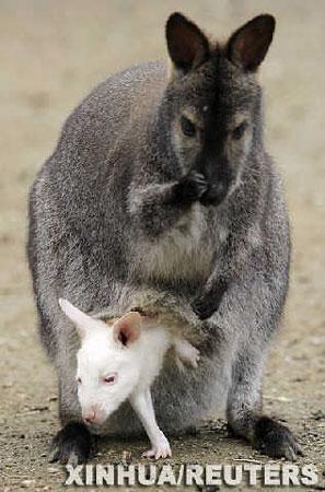 组图 白色的袋鼠宝宝