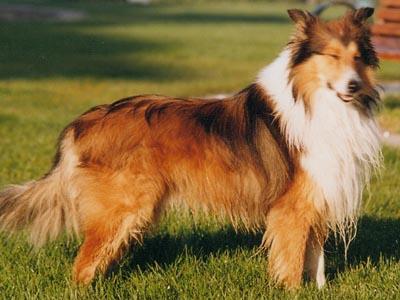 纯种苏格兰牧羊犬领养