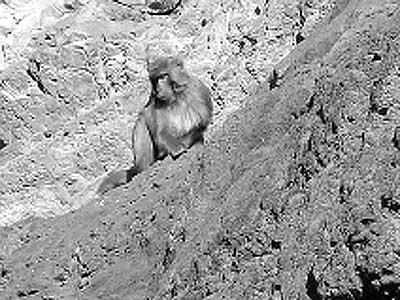 经主管野生动物保护工作的技术人员鉴定该猴子为猕猴; 绝迹多年后重现