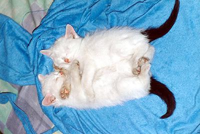 一个月的双胞胎猫咪小宝贝