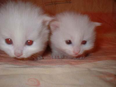 满月小白猫等待领养(图)