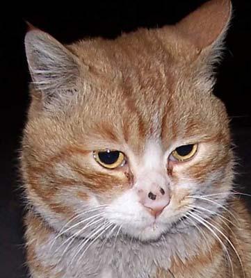 馒头电脑桌面可爱猫咪